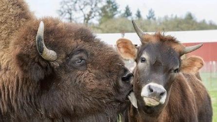 Entrambi ciechi e soli: il bisonte e il vitello diventano amici inseparabili