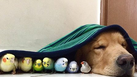 Un'amicizia davvero insolita: il cane e la sua famiglia di canarini