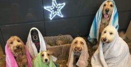Cani interpretano il presepe più dolce mai visto prima