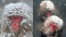Arriva la neve: le scimmie si divertono e si tuffano in acqua