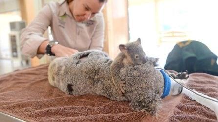 Il piccolo koala non si separa da sua madre in fin di vita: immagini che toccano il cuore
