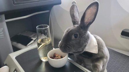 Coniglio viaggia in prima classe in aereo: noccioline e champagne