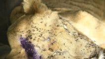 Sudan, 5 leoni malati e scheletrici nello Zoo di Al-Qureshi: corsa contro il tempo per salvarli