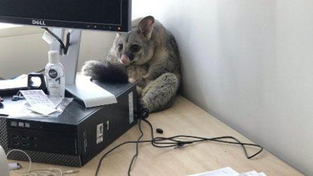 Trova l'ufficio sottosopra: ma il tenero ladro è aggomitolato dietro il computer