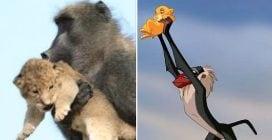 """Come il """"Re Leone"""", in Sudafrica un babuino tiene in braccio un cucciolo di leone"""