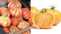 Red, yellow, black tomato: many varieties of this delicious food