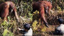 L'orango vede l'uomo in difficoltà: si avvicina e lo aiuta a uscire dalla pozza