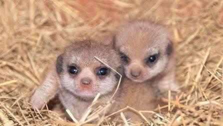 Allo zoo di Miami nascono i suricati: occhioni enormi e tenerezza infinita