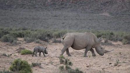 È nato un cucciolo di rinoceronte: sorpresa nel giorno di San Valentino