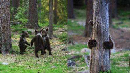 I cuccioli d'orso che giocano come fossero bambini: prima a girogirotondo e poi a nascondino