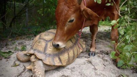 Lasciato solo dalle altre mucche: il vitello stringe amicizia con una tartaruga