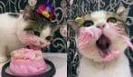 Il gatto goloso: mangia la torta e fa un'espressione meravigliosa