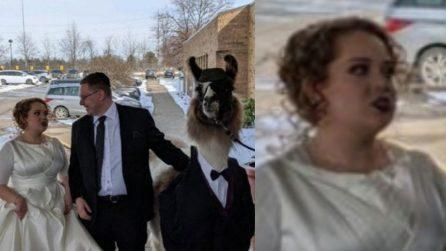 Il fratello della sposa porta un lama vestito in smoking al matrimonio: ma lei non sembra contenta