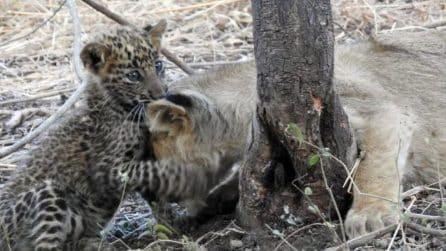La leonessa adotta un cucciolo di leopardo rimasto orfano e lo cresce come fosse un suo figlio