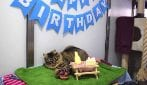 La gatta Monique attende invano: nessuno si presenta alla sua festa di compleanno