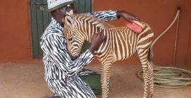 Si vestono con un costume a strisce per allattare la zebra rimasta orfana