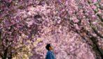 Germania, l'incantevole viale dei ciliegi di Bonn ai tempi del coronavirus