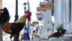 Negozi chiusi e nessuno per strada: i galli gli unici a passeggiare in città