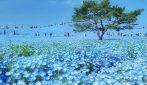 Giappone, migliaia di fiori blu fioriscono creando uno spettacolo naturale