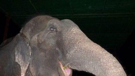 """Dopo aver passato la vita in catene: l'elefante """"piange"""" quando viene liberato"""