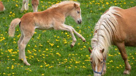 Germania, il più grande allevamento di cavalli a Meura