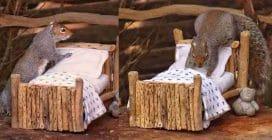 """Costruisce un piccolo letto per uno scoiattolo: l'animale """"rimbocca"""" le coperte"""