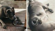 La strana coppia: il pitbull con lo scoiattolo, sono inseparabili