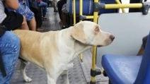 Il cane si è perso e cerca la padrona sul bus, chiedendo aiuto con il suo sguardo ai passeggeri