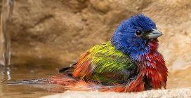 L'uccello più colorato che esista: i suoi colori sono ipnotici