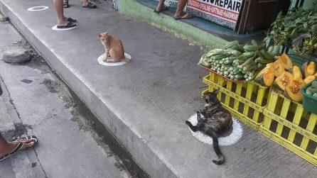 Rispettano il distanziamento sociale: i gatti in fila fuori al negozio