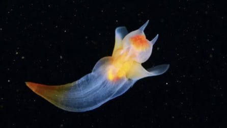 Angeli di mare luminescenti: creature meravigliose dell'oceano