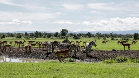 Kenya, con la scomparsa dei turisti nei safari: gli animali sono realmente liberi