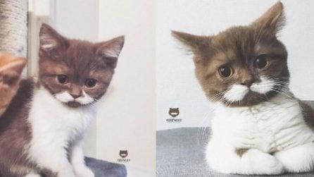 Gringo, il gattino con i baffetti che sembra un lord inglese