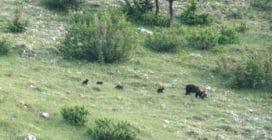Parco Nazionale d'Abruzzo, avvistata mamma di orso marsicano con i suoi cuccioli