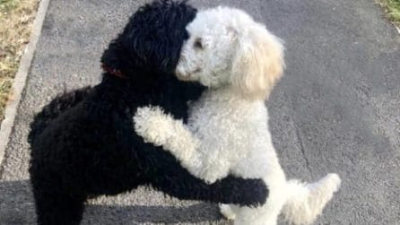 I due fratelli più affettuosi che ci siano: i barboncini si abbracciano teneramente