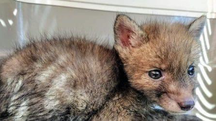 Salvato il cucciolo di volpe rimasto orfano che vagava senza più la madre a fargli da guida