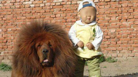 Le 13 foto più belle che ritraggono un mastino tibetano: cane dal pelo gonfio e voluminoso
