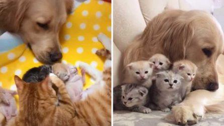 Il Golden Retriever si prende cura dei gattini appena nati