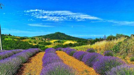 I bellissimi campi di lavanda nell'Oltrepò pavese
