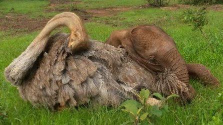 L'elefantino orfano ha trovato la sua famiglia: le coccole con lo struzzo