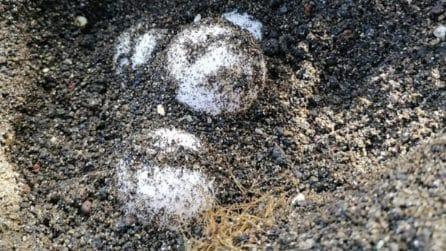 Trovato nido di tartarughe in spiaggia: scatta il protocollo di sicurezza