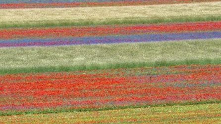 Il meraviglioso spettacolo a Castelluccio di Norcia durante la fioritura dei campi di lenticchia