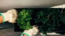 Come coltivare la menta in casa