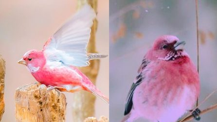Il simpatico uccellino dell'Himalaya che sembra colorato con un pastello rosa