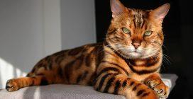 Il gatto maculato, che sembra un incrocio tra una tigre e un leopardo