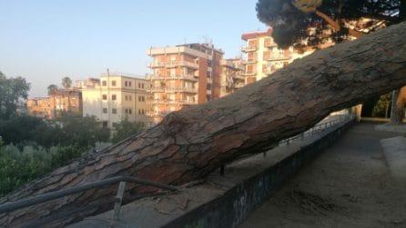 Vomero, crolla un pino in via Domenico Fontana: distrutti motorini parcheggiati