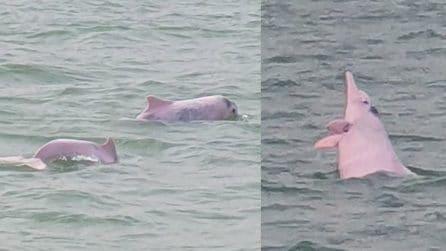Il ritorno dei delfini rosa: rieccoli dopo il lockdown