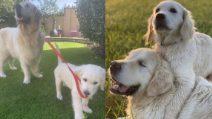 """Tao è vecchio e cieco, un cucciolo gli fa da """"cane guida"""""""