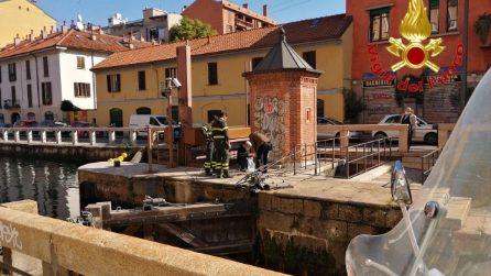 Branco di sei cinghiali lungo il Naviglio di Milano: catturati dai vigli del fuoco