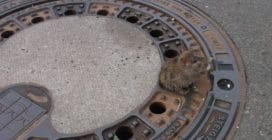 Il topo cicciottello resta incastrato nel tombino: i vigili del fuoco lo salvano